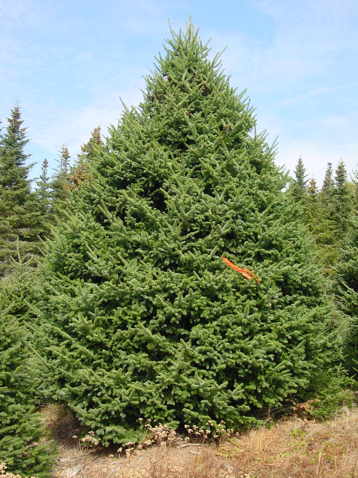 Coupons For Christmas Trees